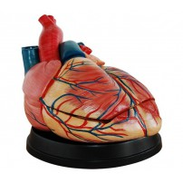 Jumbo Heart Model Medical Anatomy XC-307C