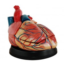 Jumbo Heart Model Medical Anatomy XC-307C