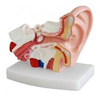 Desktop Ear Joint Model Medical Anatomy XC-303D
