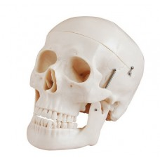 Deluxe Skull Style D Joint Model Medical Anatomy XC-104D